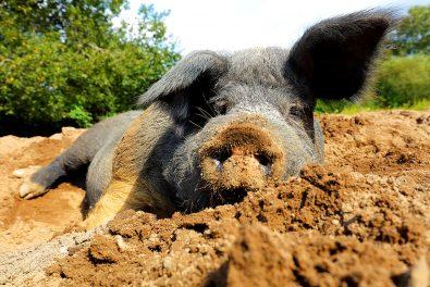 Angler Schwein in der Sandkuhle im Tierpark Arche Warder bei Kiel. Alte Haustierrassen