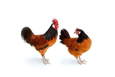 Hühner, Vorwerkhuhn und Hahn. Alte Haustierrassen. Geflügel