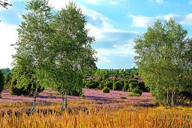Niedersachsen, Lüneburger Heide, Blühende Heide.Eimke, Ellendorfer