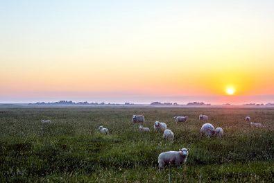 Nordseeküste, Westerhever, Weide mit schafen im Sonnenaufgang
