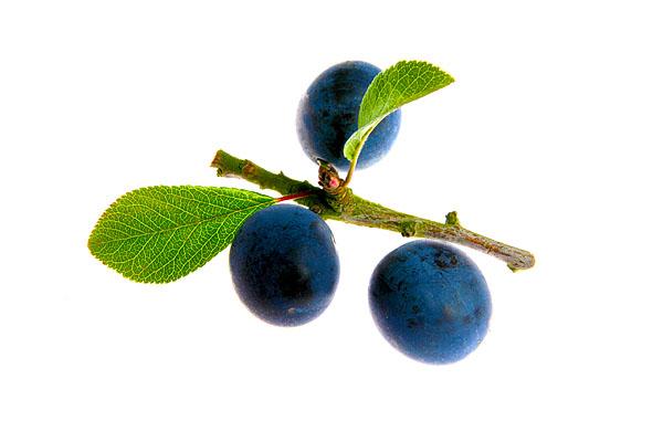 Raritäten mit Biss. Food, Obst, Historische Primitivpflaume